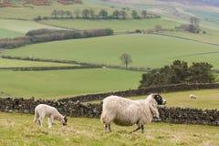 Ewe with grazing lamb. In paddock Royalty Free Stock Photo