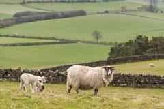 Ewe with grazing lambs Stock Photo
