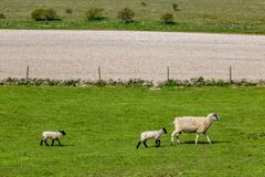 A Ewe and her Babies. A Ewe and Two Lambs in the Sussex Countryside, on a Sunny Spring Day royalty free stock images