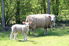 Ewe and her cub in a field in summer. Sheep and her lamb bask in their fields in all tranquility royalty free stock image