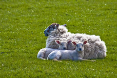 Ewe with her lambs. Black head ewe and lambs in welsh field Stock Images