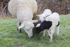 Ewe and Her Lambs Stock Image