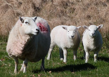 Ewe with her lambs Royalty Free Stock Image