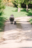 Ewe and her new lamb Royalty Free Stock Image