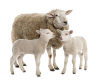 A Ewe with her two lambs. In front of a white background stock photos