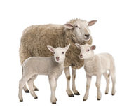 A Ewe with her two lambs. In front of a white background royalty free stock photos
