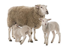 A Ewe with her two lambs, one is suckling Stock Photos