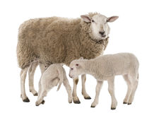 A Ewe with her two lambs, one is suckling Stock Photography