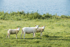 Ewe and het two lambs looking curiously Royalty Free Stock Photo