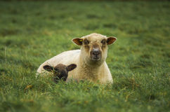 Ewe i baranek fotografia stock