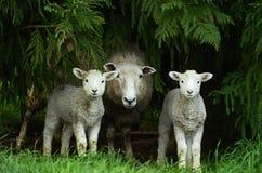 Ewe i jej bliźniaczy baranki Obrazy Royalty Free