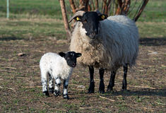 Ewe and its lamb. Standing on a barnyard, Germany Royalty Free Stock Photo