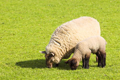 Ewe and lamb. A ewe and her lamb in a bright green field in springtime Stock Photography