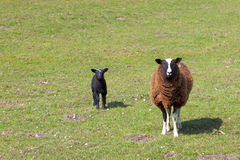 Ewe and lamb. A ewe with her lamb in a sunny green pasture in springtime Royalty Free Stock Images