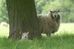Ewe and lamb Stock Image