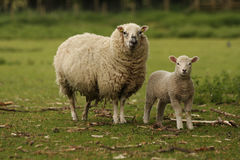Ewe and Lamb. A mother ewe and her lamb in a field Stock Photos