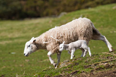 Ewe and Lamb Royalty Free Stock Photo