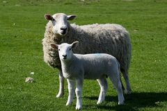 Ewe and lamb. Ewe with her young stabnding together in a field stock photography