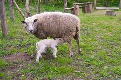 Ewe and lamb. In the pasture. Lamb sucks sheep royalty free stock photography