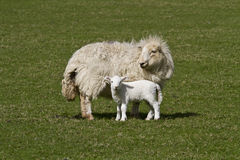 Ewe and lamb. Ewe and young lamb in a sunlit field Royalty Free Stock Image