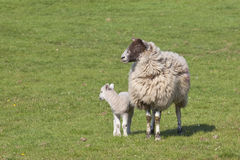 Ewe and lamb. A ewe and lamb in a green meadow in springtime Stock Photos