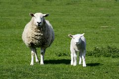 Ewe and lamb. An adult ewe with her young in a field looking at the camera royalty free stock image