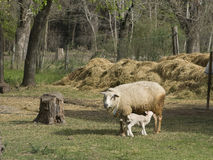 Ewe and Lamb Stock Photo