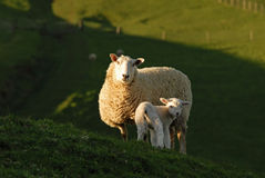 Ewe and Lamb. Mother sheep with her Lamb royalty free stock image