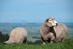 Ewe and lamb Royalty Free Stock Photos