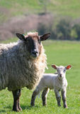 Ewe with lamb. In grass meadow Royalty Free Stock Photo