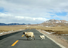 Ewe and lamb. Run cross highway Stock Photo
