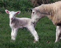 Ewe with lamb. Ewe with her newborn lamb Stock Images