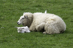 Ewe and lamb. An ewe and a fresh born spring lamb lying in the grass Stock Photo