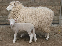 Ewe and Lamb. A Woolly Ewe and her Lamb royalty free stock photography