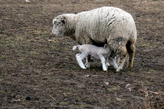 Ewe and Lamb. A newborn lamb nursing from it's mother Stock Image