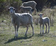 Ewe and Lamb, Carson City, Nevada Stock Image