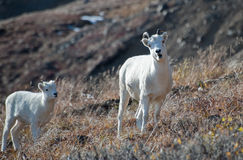 Ewe and Lamb Dall Sheep Royalty Free Stock Image