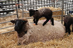 Ewe and lamb, England Stock Image