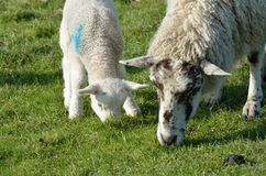 Ewe and lamb feeding Royalty Free Stock Images