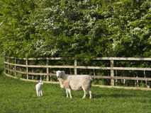 Ewe with lamb by fence. Umbilical cord visible royalty free stock photo