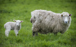 Ewe and lamb in field Stock Photo