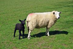 Ewe and lamb in a field. White Ewe with Black lamb in a field Royalty Free Stock Image