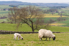 Ewe with lamb grazing. On meadow Royalty Free Stock Images