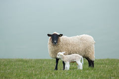 Ewe and Lamb. A ewe and her newborn lamb on the East Sussex South Downs during Springtime Royalty Free Stock Photography