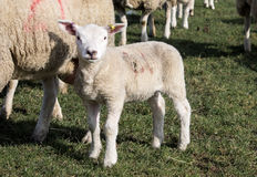 Ewe and Lamb, Holmfirth , West Yorkshire Royalty Free Stock Photos