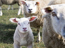 Ewe and Lamb, Holmfirth , West Yorkshire Royalty Free Stock Images