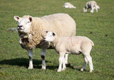 Ewe and Lamb, Holmfirth , West Yorkshire Stock Photo