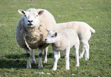Ewe and Lamb, Holmfirth , West Yorkshire Stock Photography