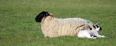 Ewe and Lamb. Laying down in a field Royalty Free Stock Photo