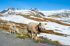 Ewe. With lamb at the mountains royalty free stock photo